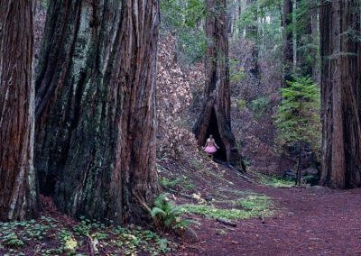 Redwoods. Montgomery Grove, California.